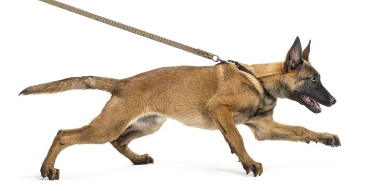 16485349 - belgian shepherd leashed, trying to run against white background